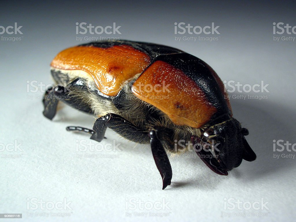 Christmas Beetle royalty-free stock photo