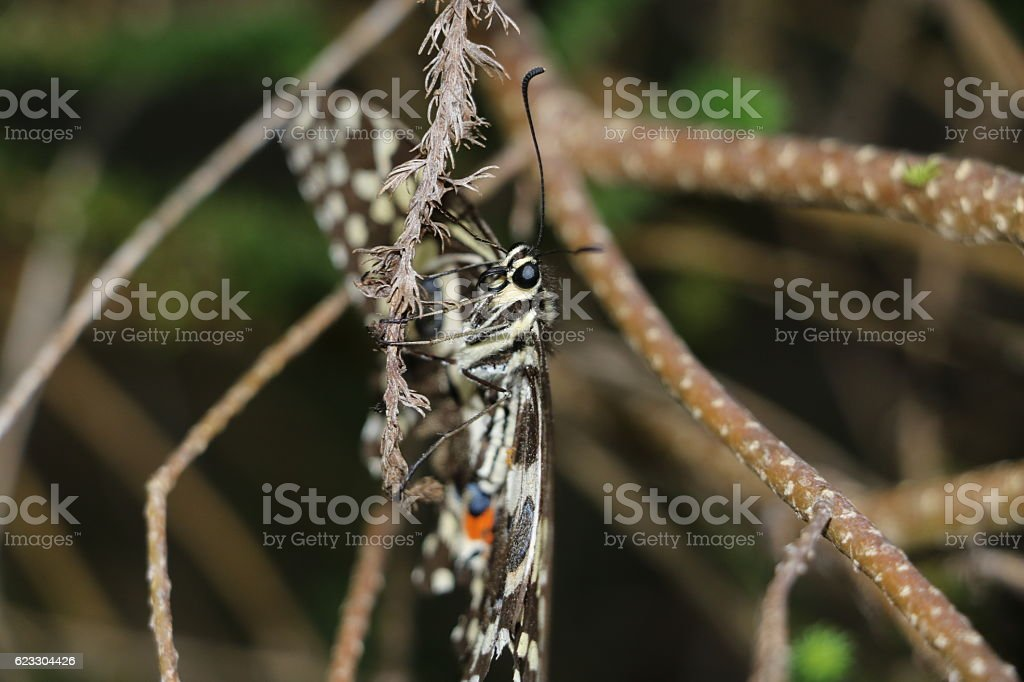 Christmas Butterfly or Citrus Swallowtail hanging on a branch stock photo