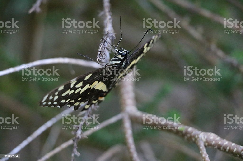 Christmas Butterfly or Citrus Swallowtail hanging on stock photo