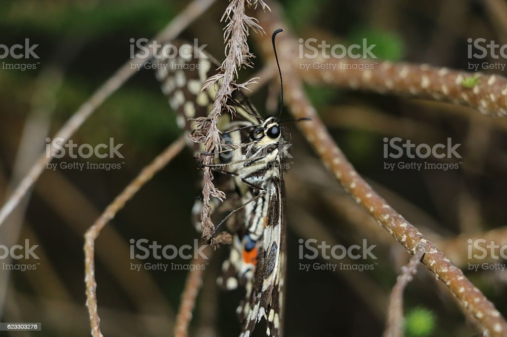 Christmas Butterfly or Citrus Swallowtail stock photo
