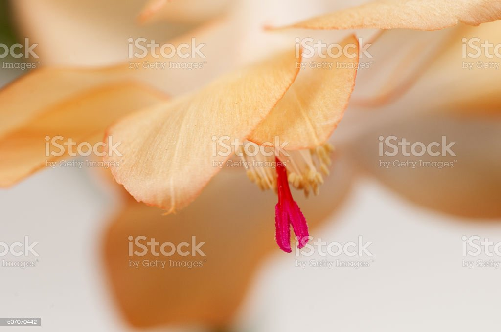 Christmas cactus flower stock photo