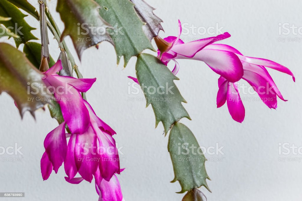 Christmas Cactus flowers closeup - Schlumbergera truncata stock photo
