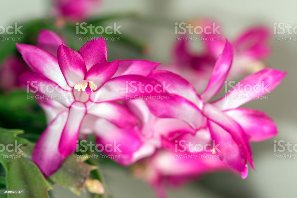 Christmas Cactus (Schlumbergera) flowers in close-up royalty-free stock photo