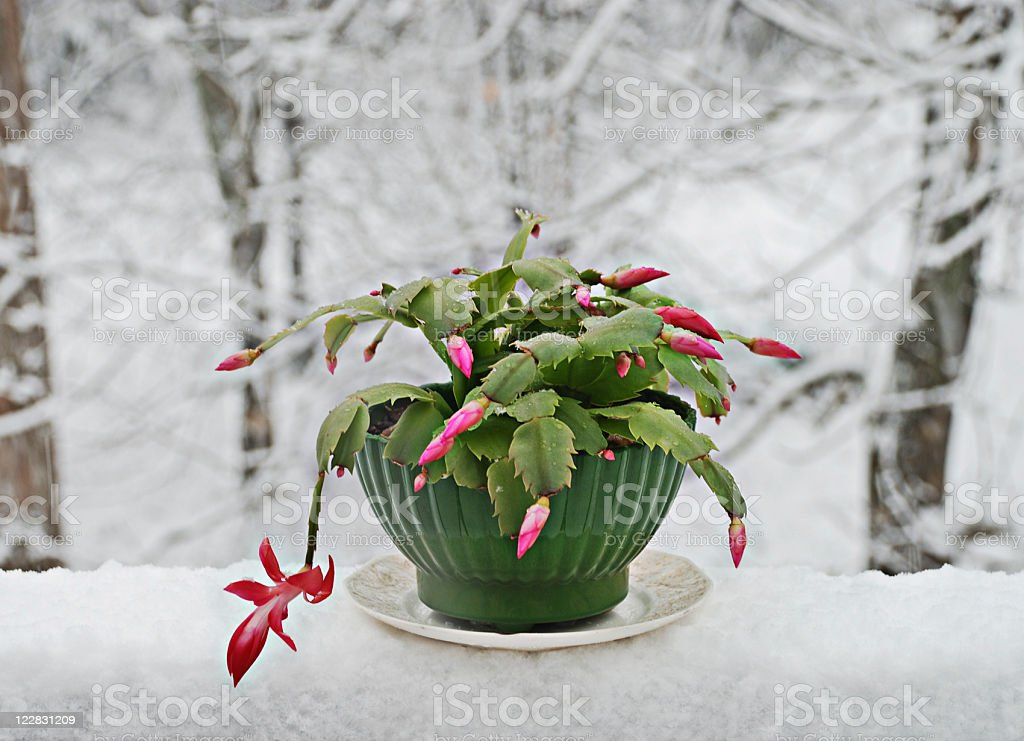 Christmas cactus house plant on snow covered table stock photo