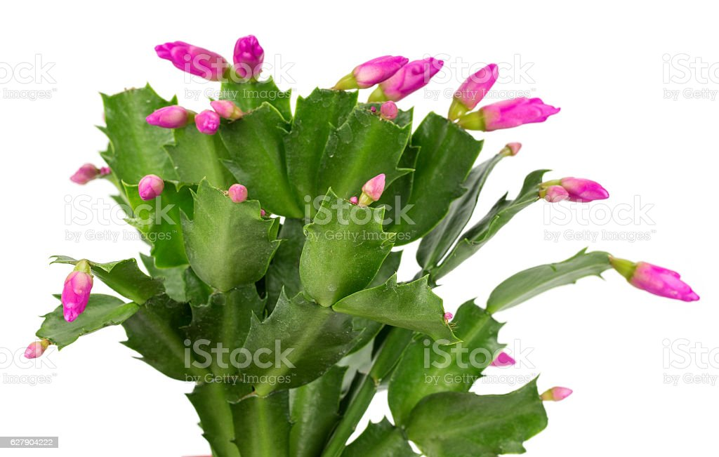 Christmas cactus isolated on a white background stock photo