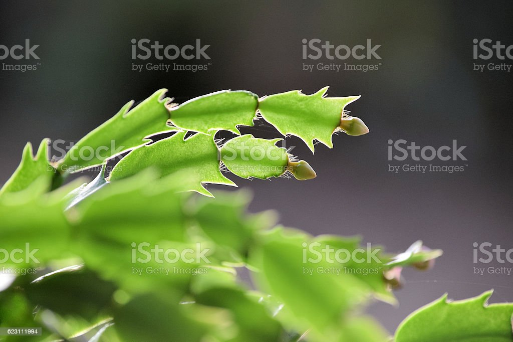 Christmas Cactus leave with a bud stock photo