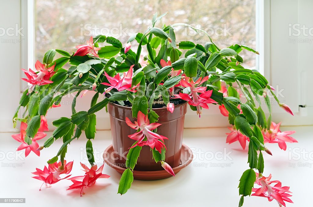 Christmas cactus (Schlumbergera) stock photo