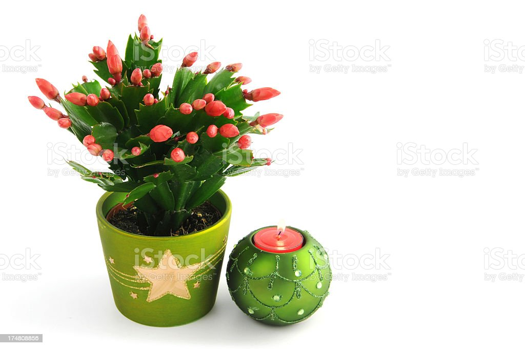 Christmas cactus (Schlumbergera) with buds in flower pot royalty-free stock photo