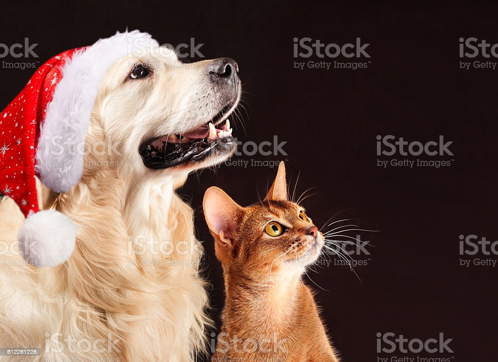 Christmas cat and dog, abyssinian kitten , golden retriever looks at stock photo