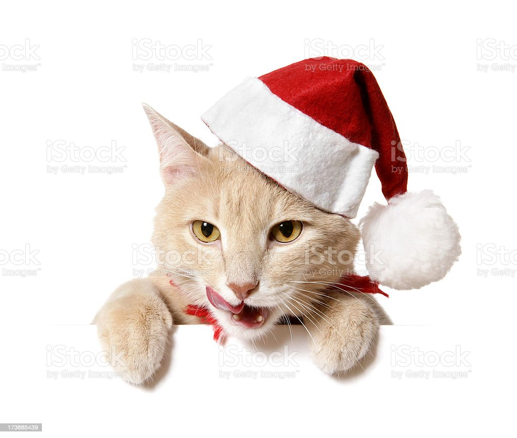 Christmas Cat (blank sign) royalty-free stock photo