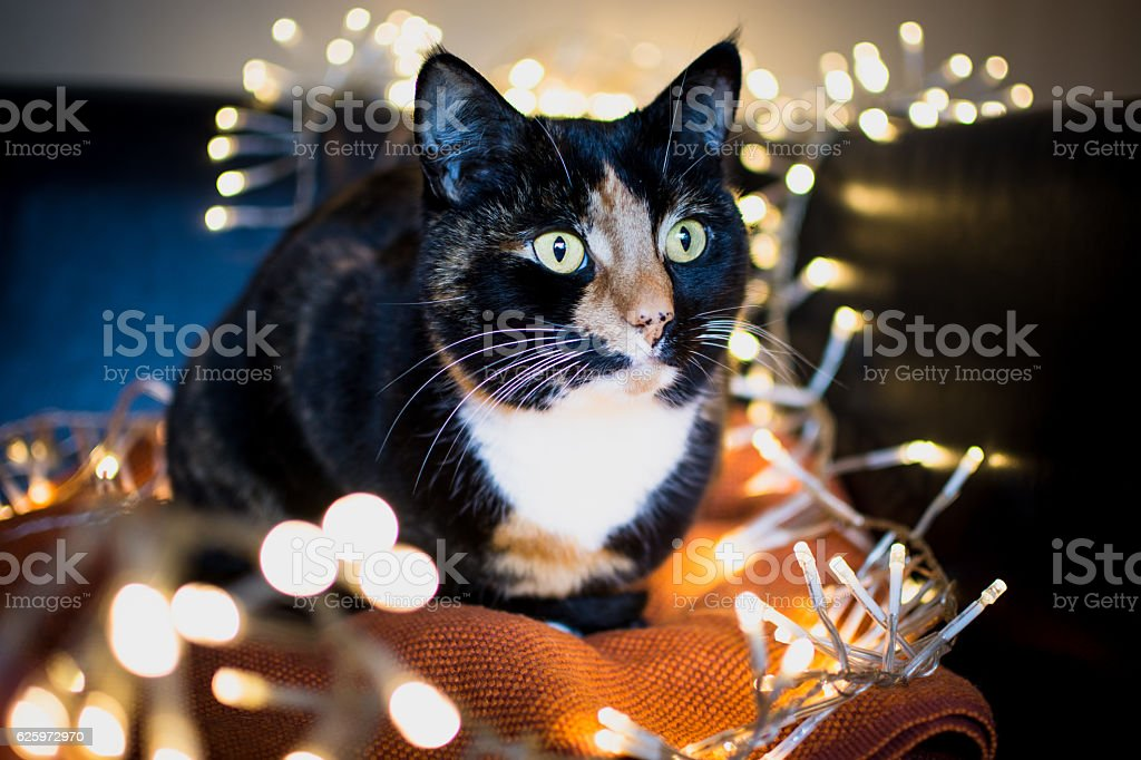 Christmas Cat with fairy lights stock photo