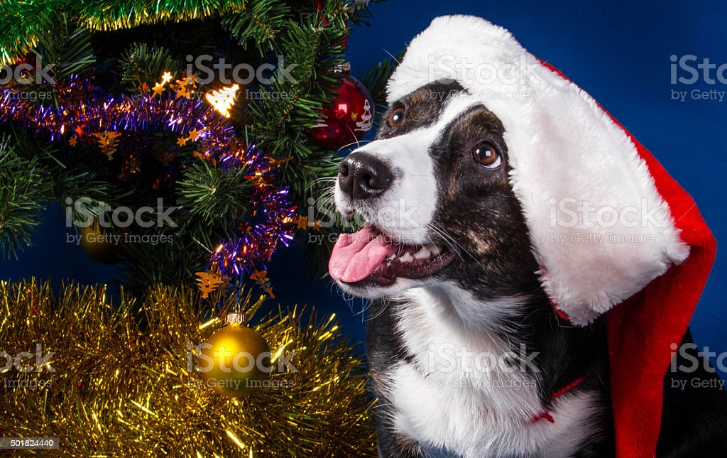 Christmas Corgi royalty-free stock photo