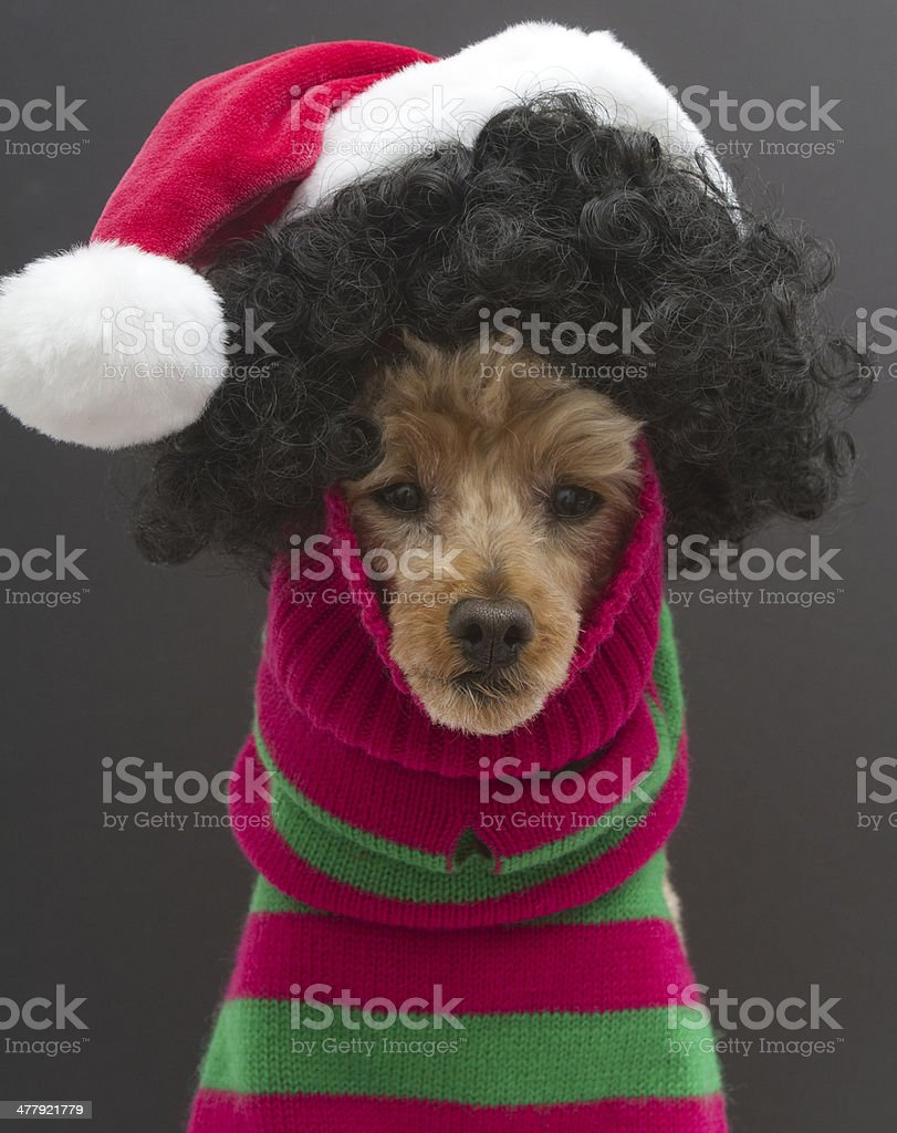 Christmas Curls on A Poodle royalty-free stock photo