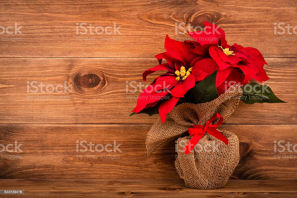 Christmas decoration - artificial poincettia (euphorbia) with red flowers. stock photo