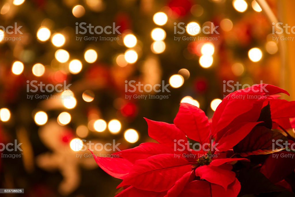 Christmas Decoration with Poinsettia Flowers stock photo
