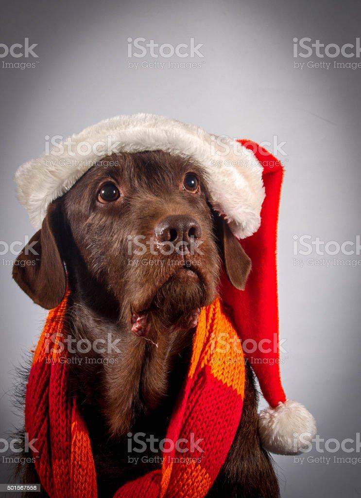 Christmas dog royalty-free stock photo