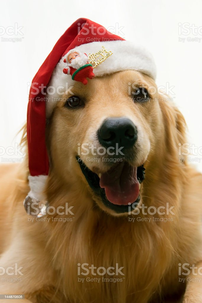 christmas dog wearing santa hat royalty-free stock photo
