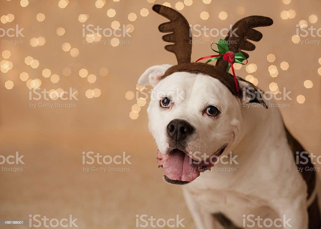 Christmas Dog with antlers stock photo