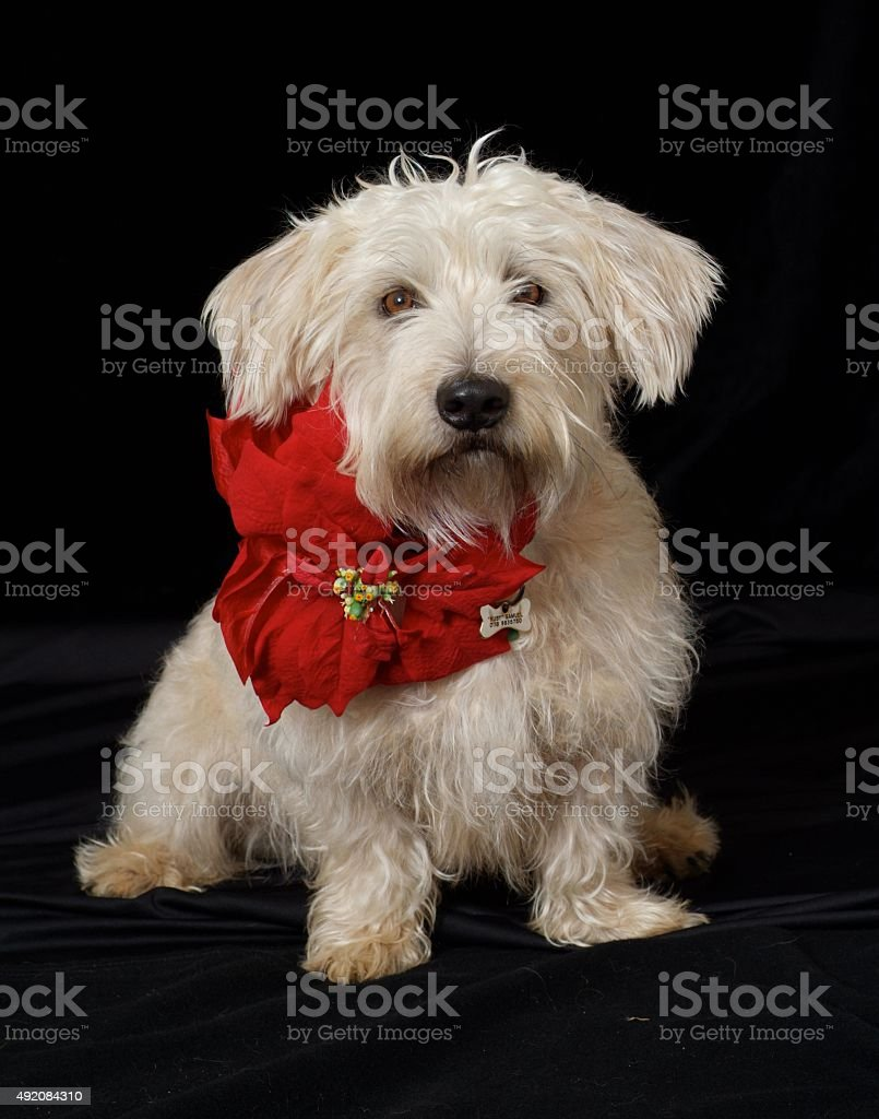 Christmas Dog with Poinsettia stock photo