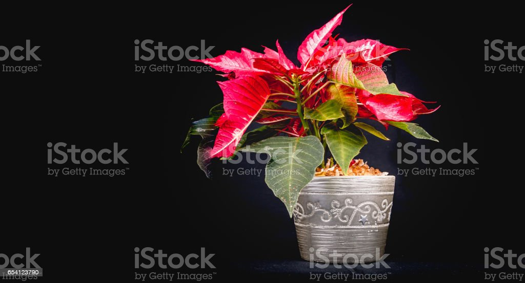 Christmas Eve Flower on black background stock photo