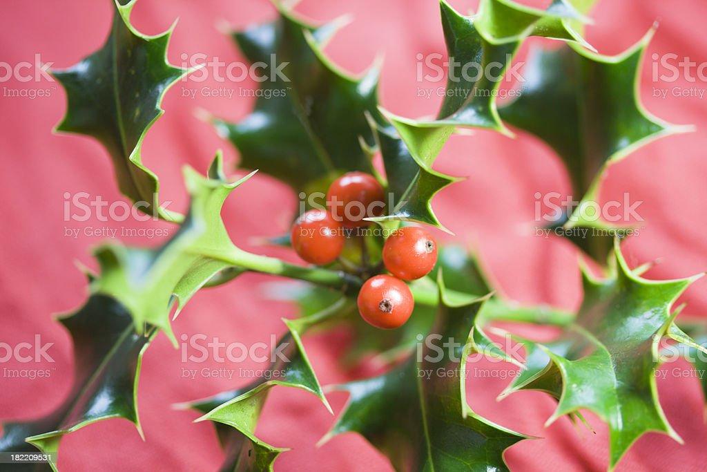 Christmas Evergreens: Holly royalty-free stock photo