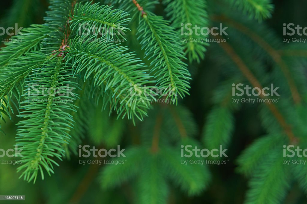 Christmas Fir Tree stock photo