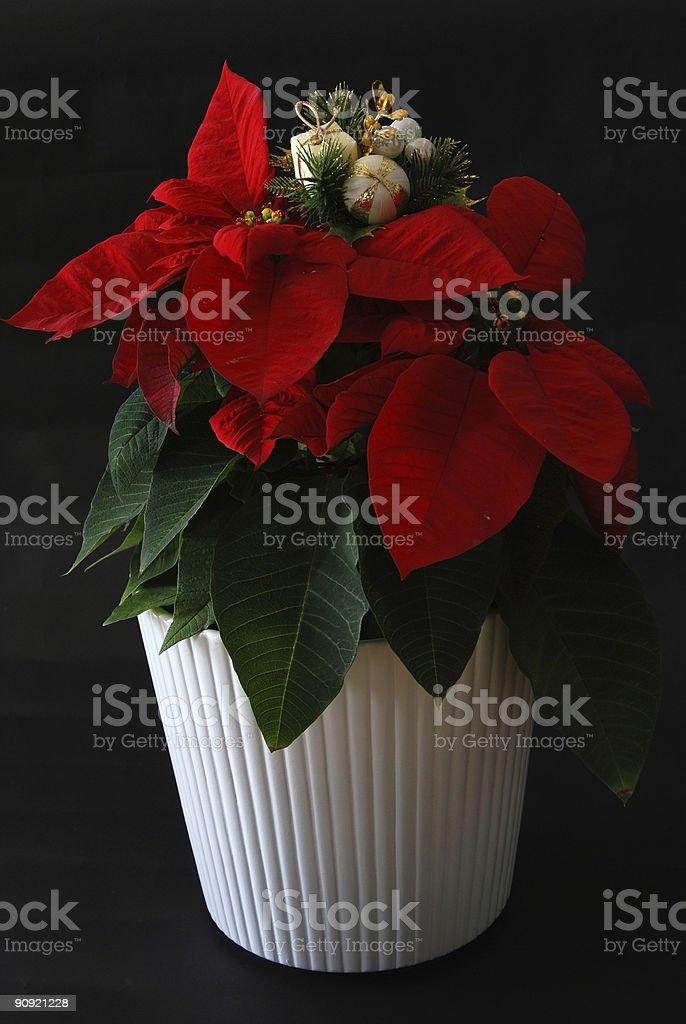 christmas flower stock photo