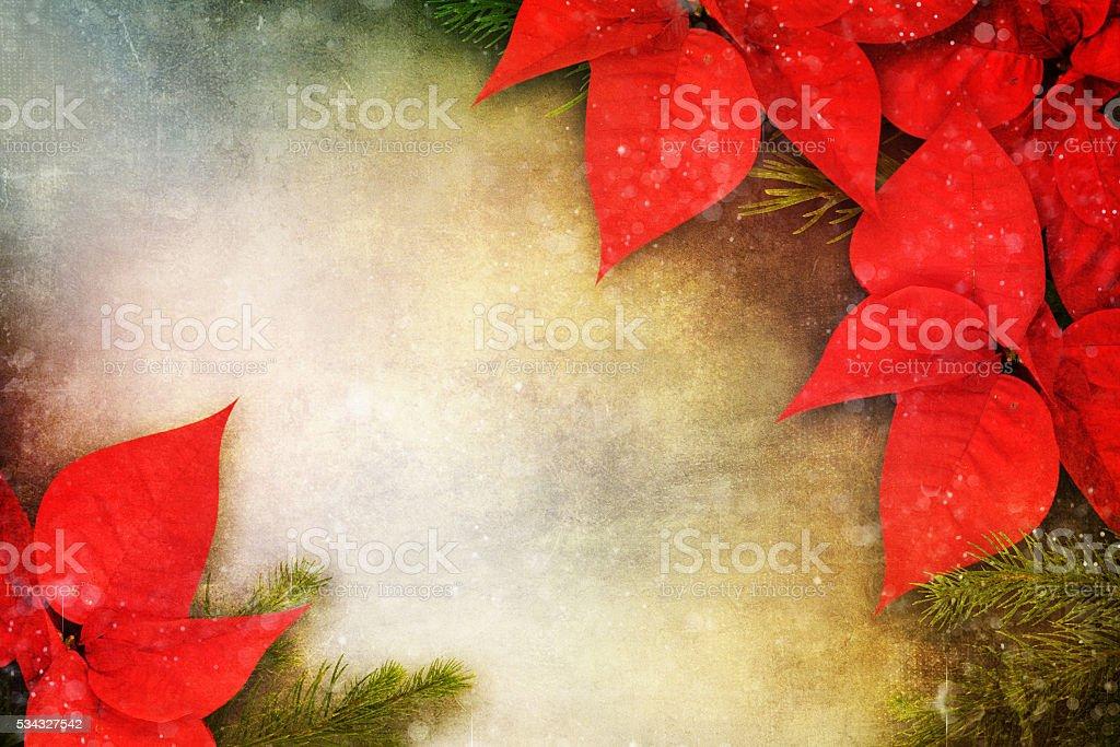 Christmas flower poinsettia background stock photo