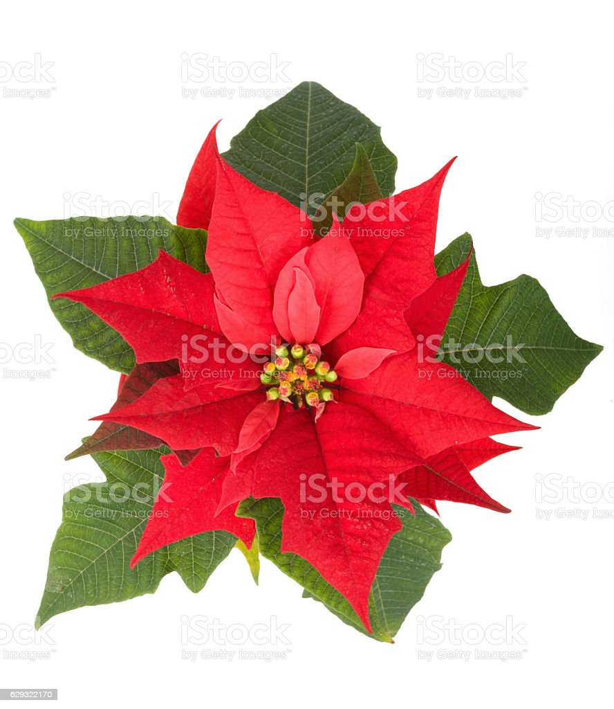 christmas flower red Poinsettia stock photo