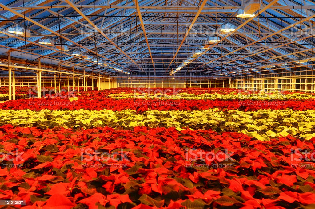 Christmas Flowers, poinsettia stock photo