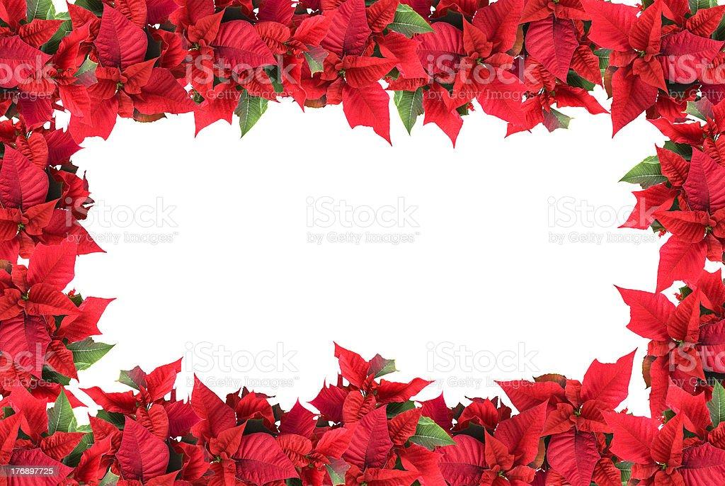 christmas frame from poinsettias isolated on white stock photo
