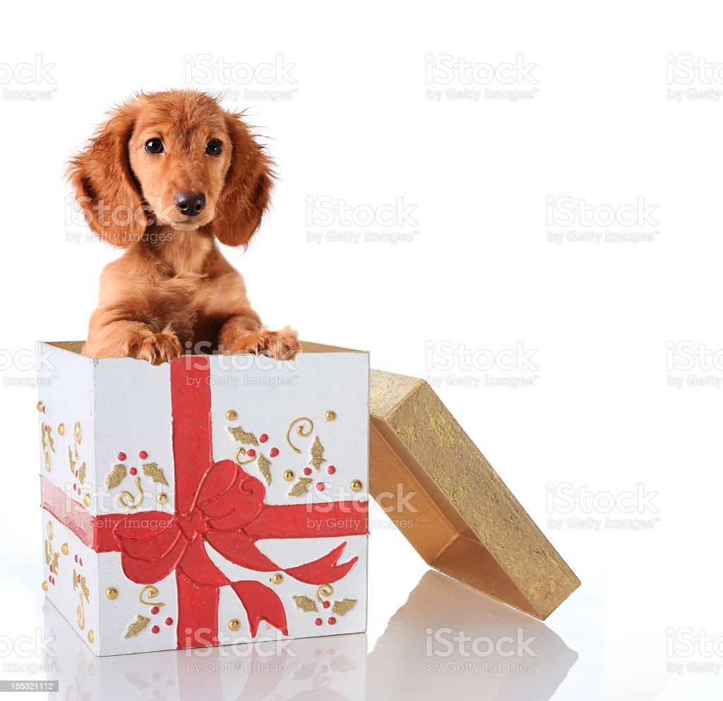 Christmas gift box with cute little puppy inside royalty-free stock photo