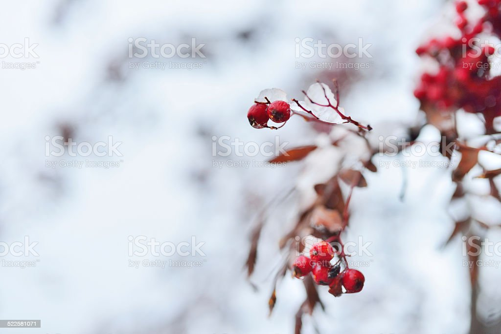 Christmas holly covered with snow stock photo