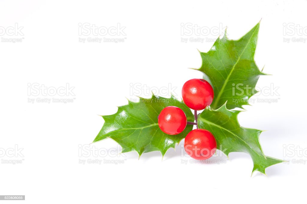 Christmas holly plant isolated on white stock photo