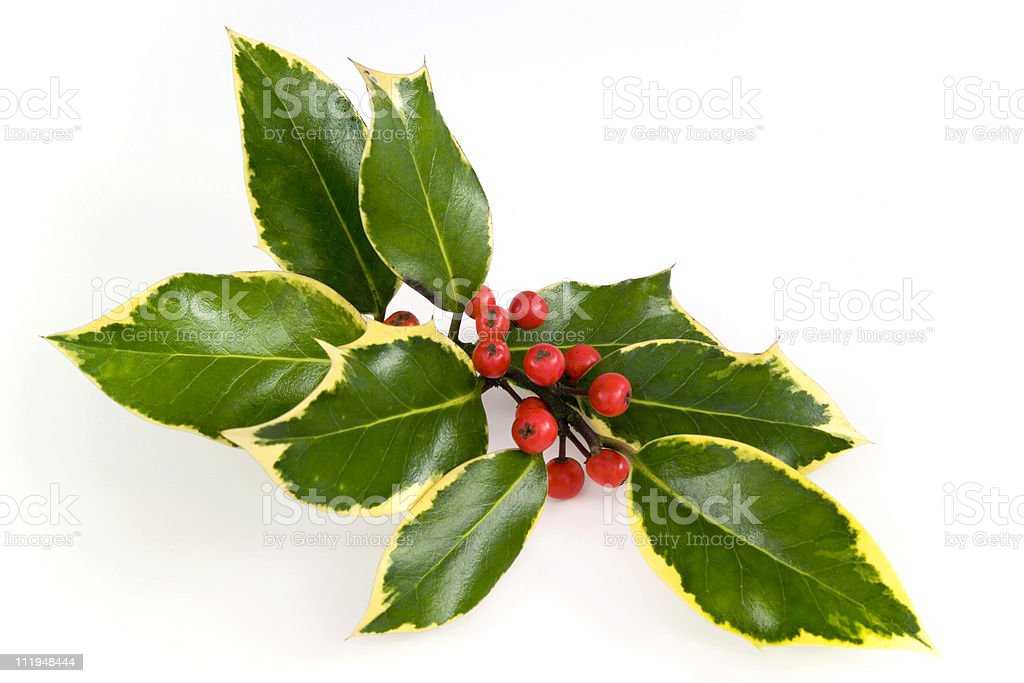 Christmas holly spray royalty-free stock photo