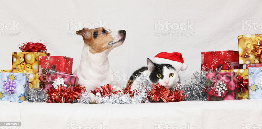Christmas Jack Rusell terrier with a cat stock photo