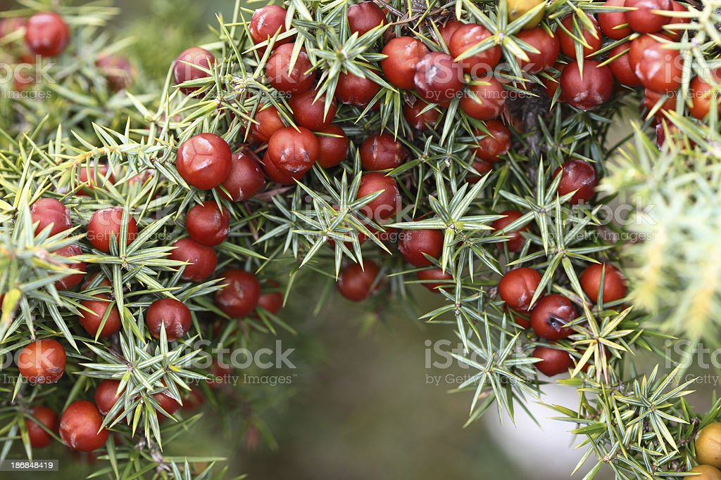 Christmas juniper royalty-free stock photo