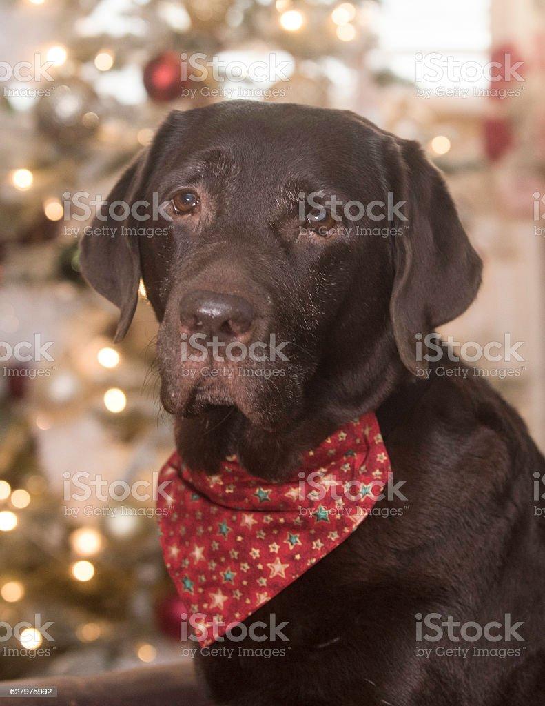 christmas labrador royalty-free stock photo