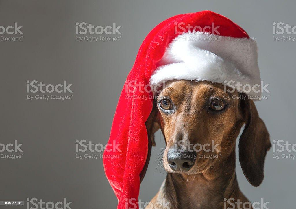 christmas miniature dachshund puppy wearing Santa Claus hat stock photo