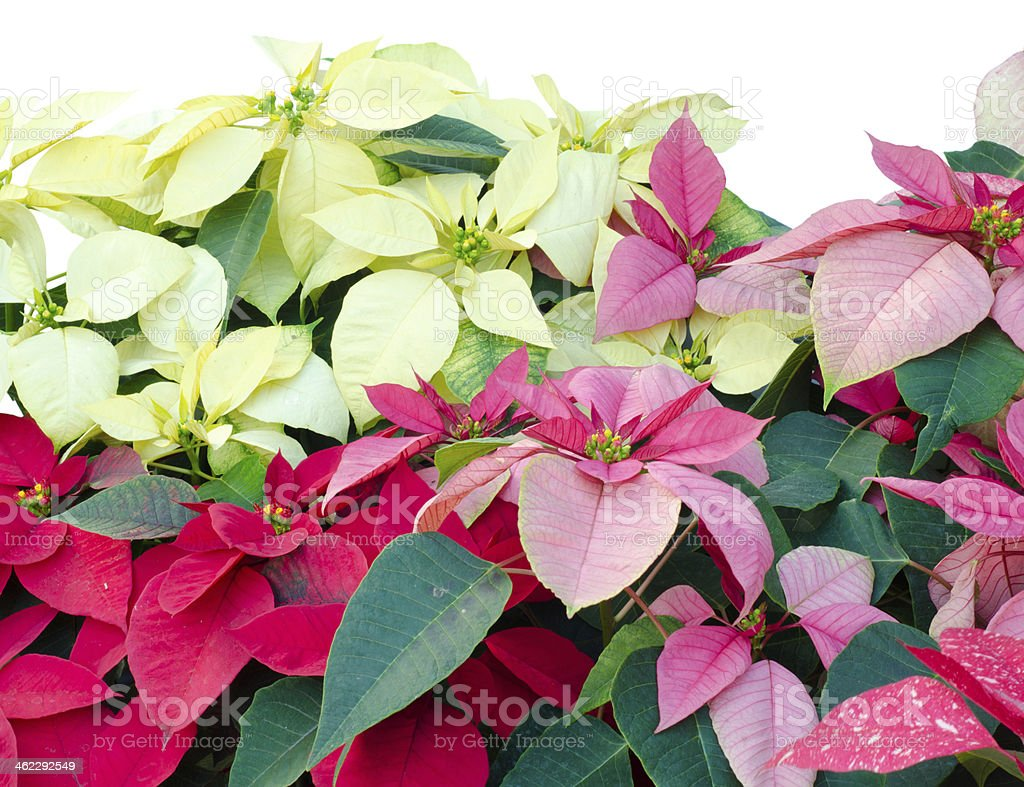 Christmas or Poinsettia isolated white background stock photo