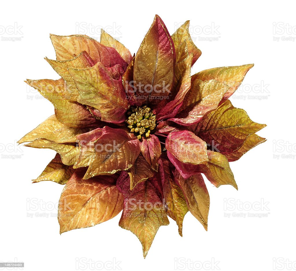 Christmas Poinsettia royalty-free stock photo