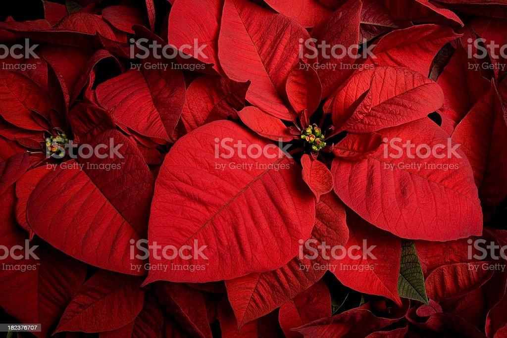 Christmas Poinsettia royalty-free stock photo
