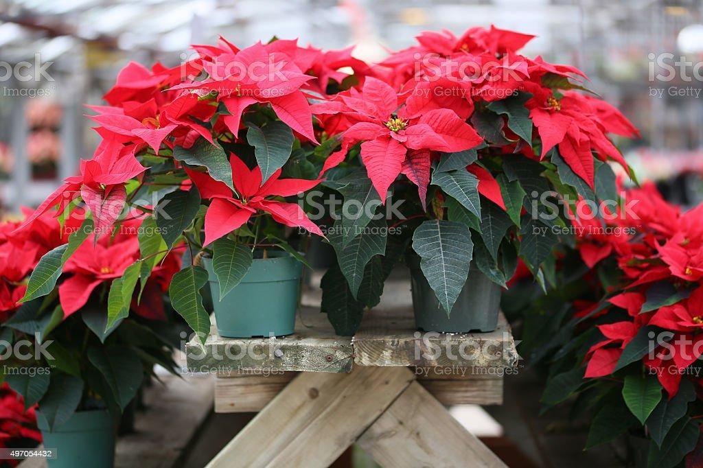 Christmas Poinsettia stock photo
