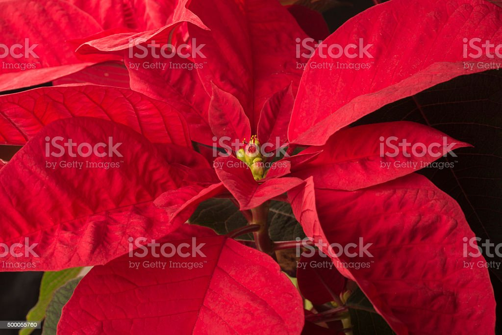 Christmas poinsettia stock photo