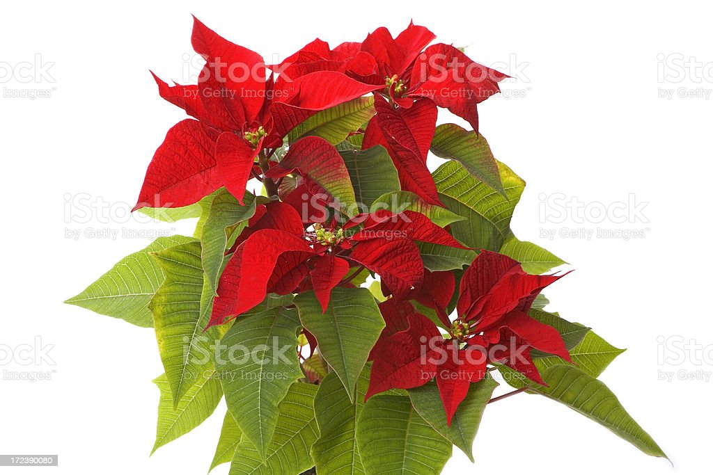 christmas poinsettia studio shot on white royalty-free stock photo