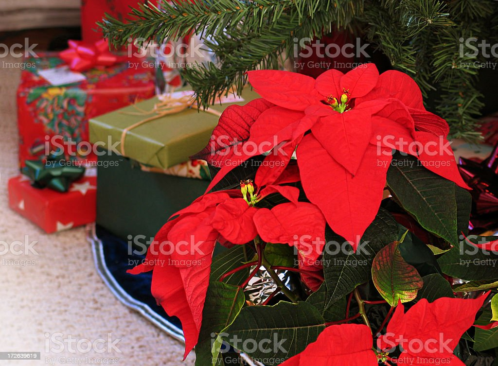 Christmas Poinsettia w/Tree & Gifts royalty-free stock photo