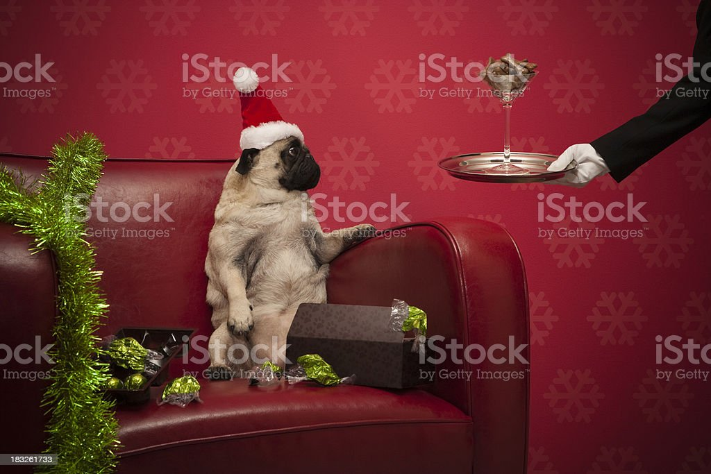 Christmas pug dog's receiving butler service stock photo