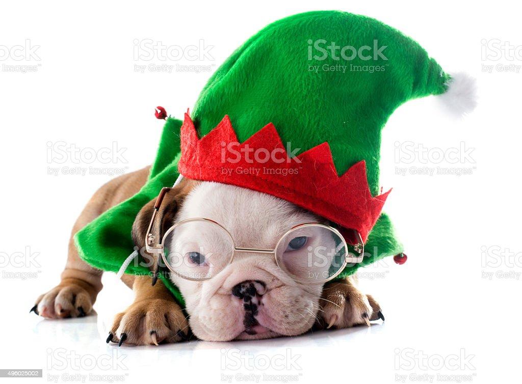 christmas puppy english bulldog stock photo