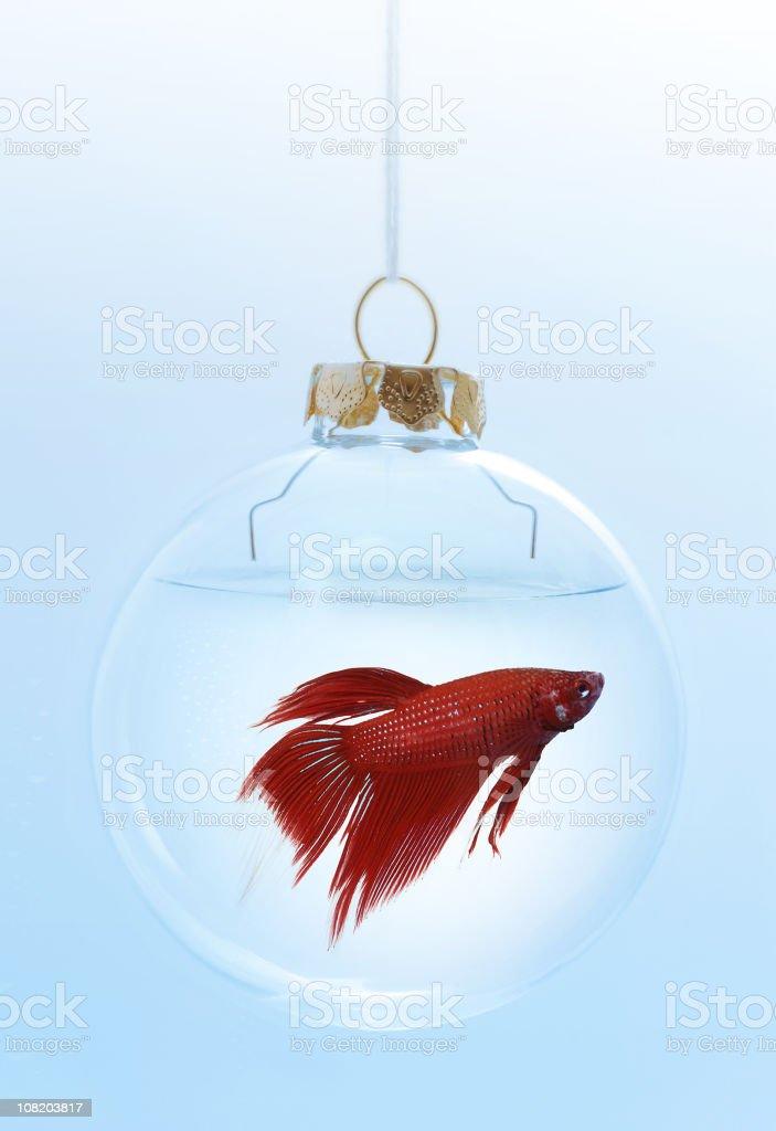 christmas red beta royalty-free stock photo