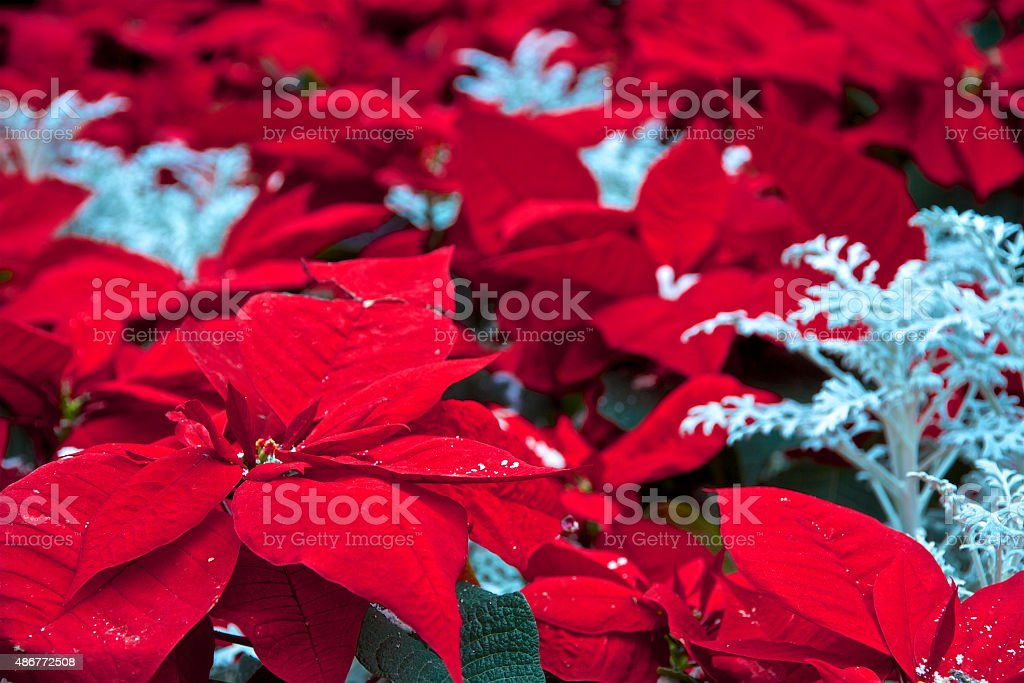 Christmas Red Poinsettia Flowers Background stock photo